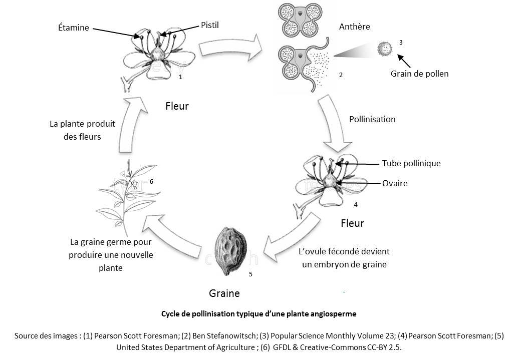 Propos herbe poux et autres pollens allerg nes for Vers dans les plantes